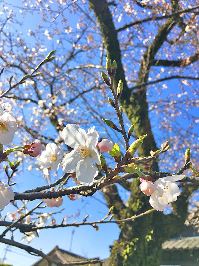 ヤマックスyamax新築炭の家阿蘇神社お花見と馬ロッケ2.jpg